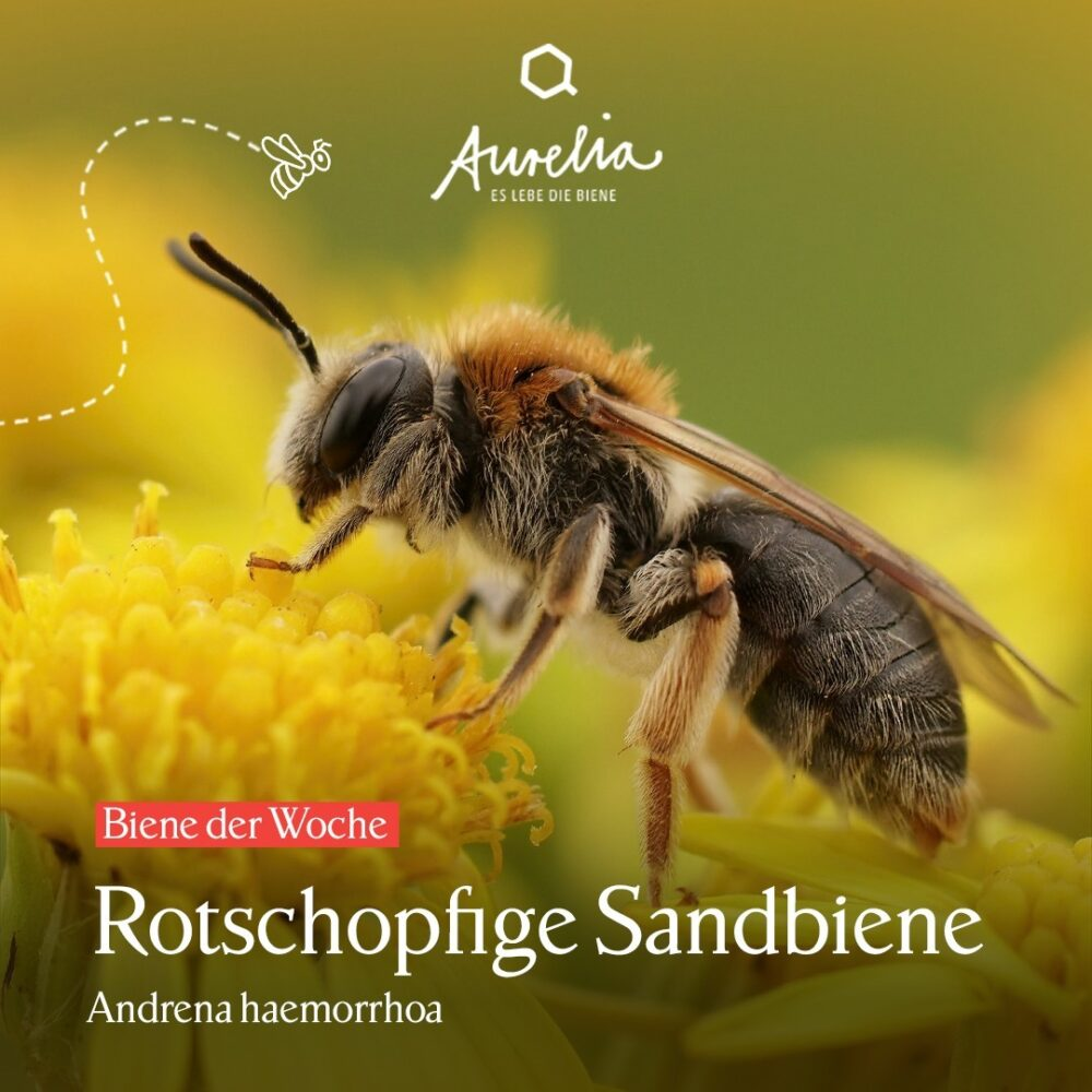 Mit der Rotschopfigen Sandbiene (Andrena haemorrhoa) stellen ...