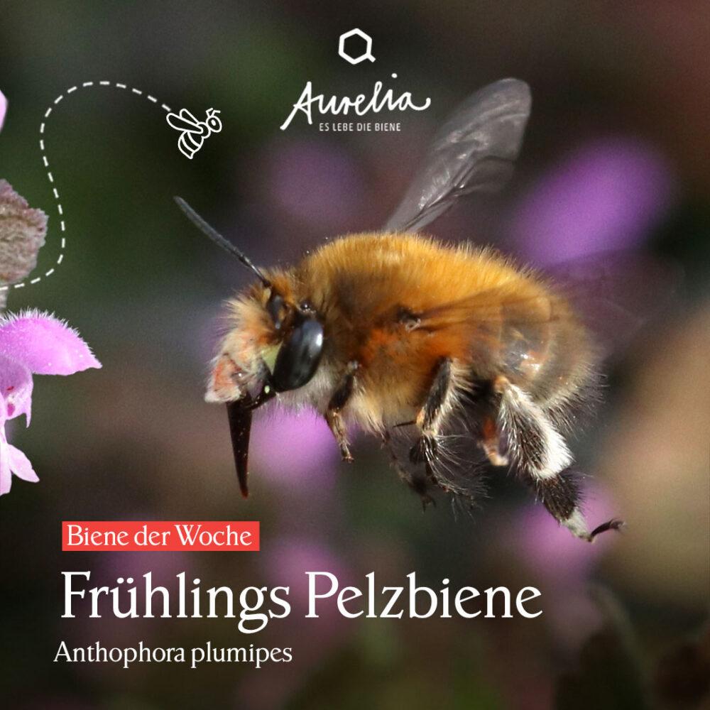 Obwohl die Frühlings Pelzbiene (Anthophora plumipes) noch e ...