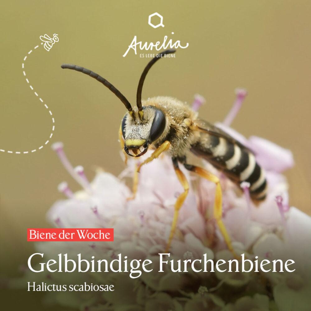 """Die heutige """"Biene der Woche"""" 🐝, eine Gelbbindige Fur ..."""