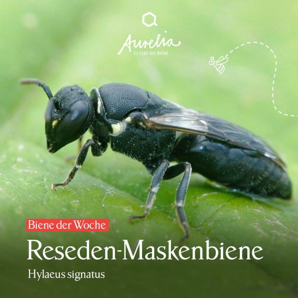 Die Gattung der heutigen Biene der Woche🐝 haben wir euch  ...