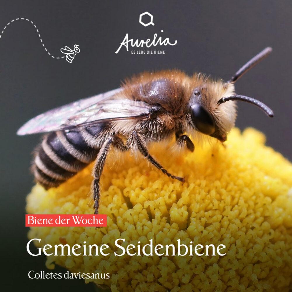 Die Seidenbiene 🐝  ist bei einigen Hausbesitzer*innen unb ...