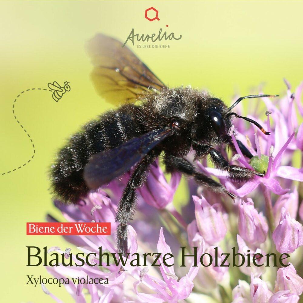 """Unsere heutige """"Biene der Woche"""" 🐝, die Blauschwarze  ..."""