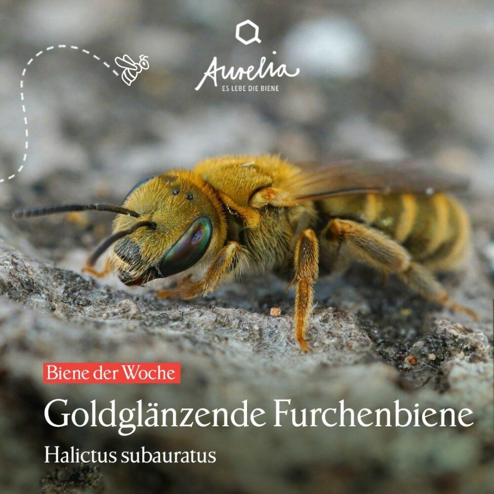 Diese prächtige Biene ist eine Goldglänzende Furchenbiene  ...