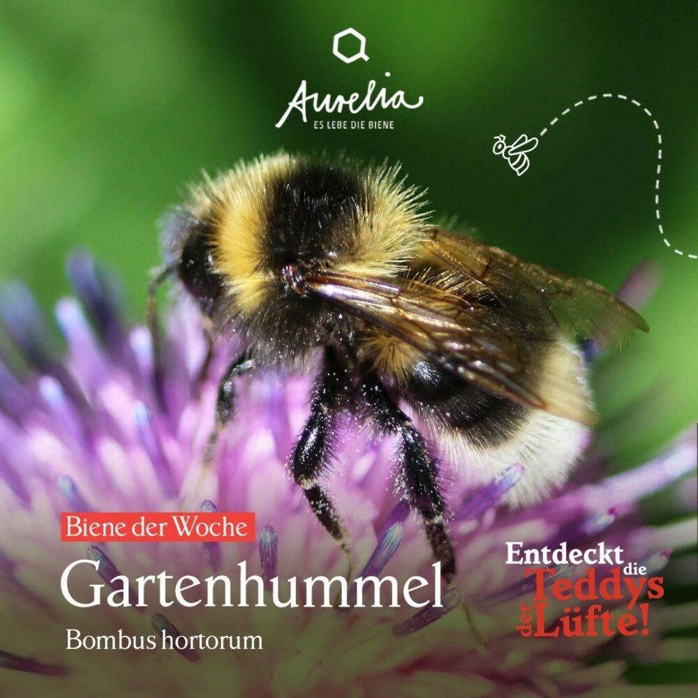 """Die heutige """"Biene der Woche"""", die Gartenhummel (bombus  ..."""