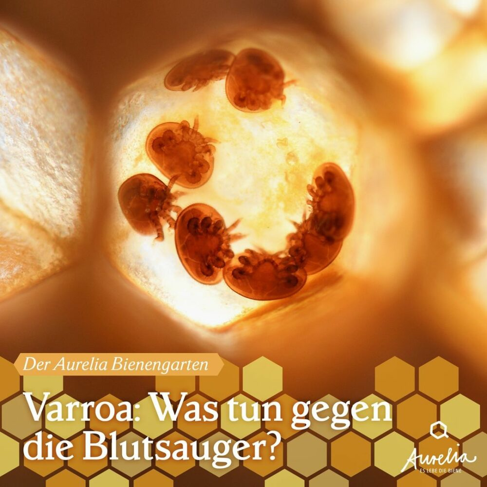 Die Varroamilbe (varroa destructor) ist eine der meist gefü ...