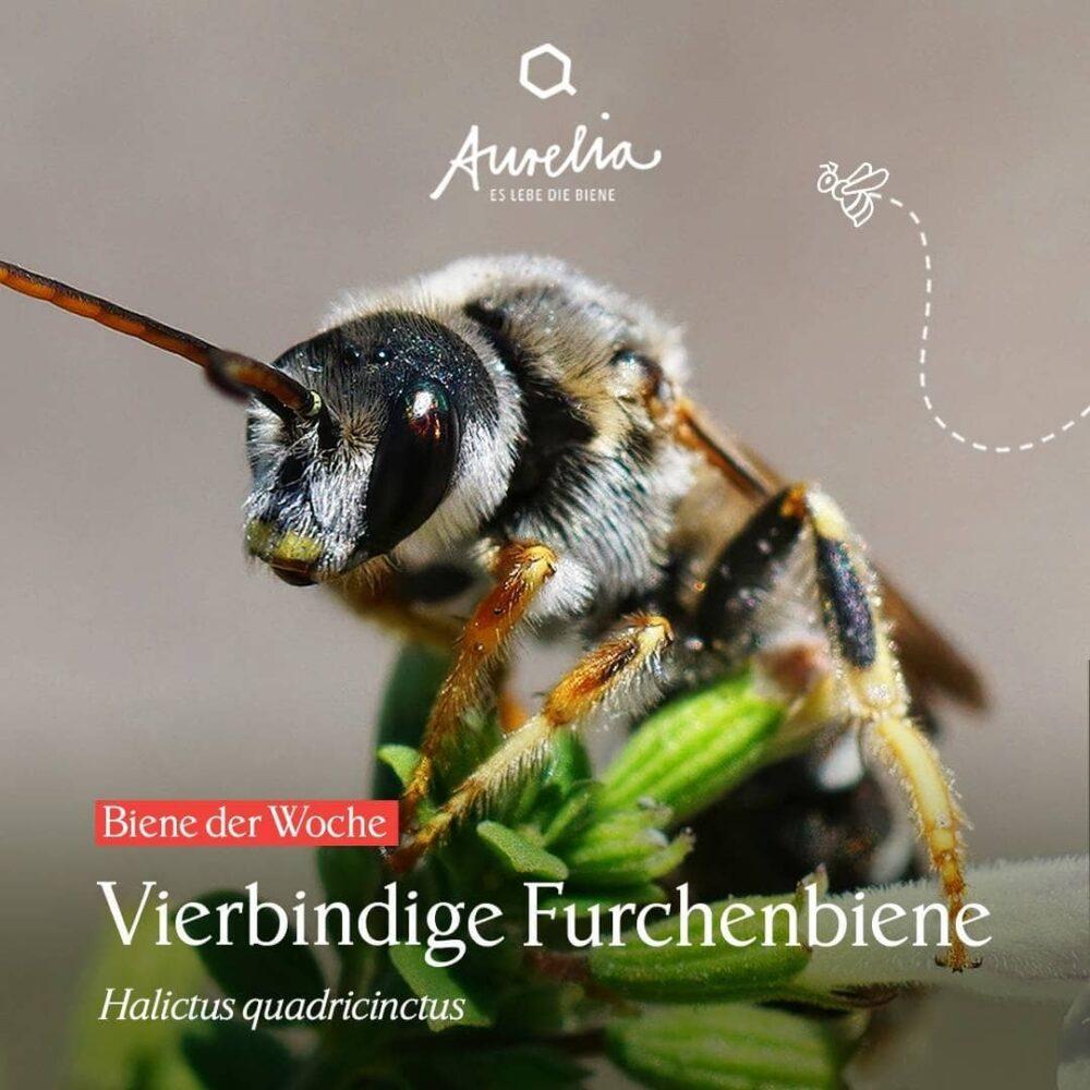 Dürfen wir vorstellen? 🔍Die Vierbindige Furchenbiene ist ...